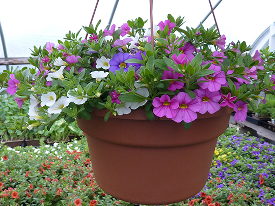 Calibrachoa are vigorous plants perfect for containers and sunny flower beds