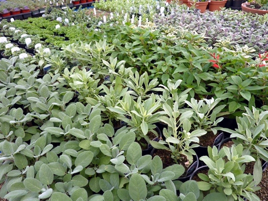 We offer several varieties of sage