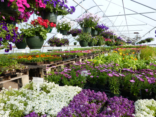 Colorful blooms await customers in greenhouse