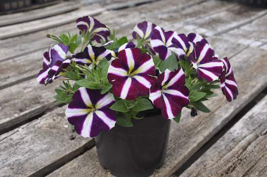 "Petunia ""Amore Fluttering Heart"""