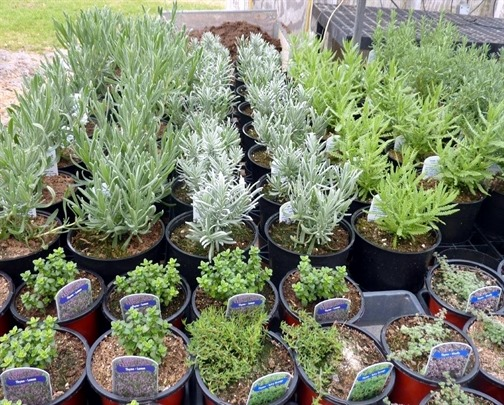 It`s thyme for lavender!