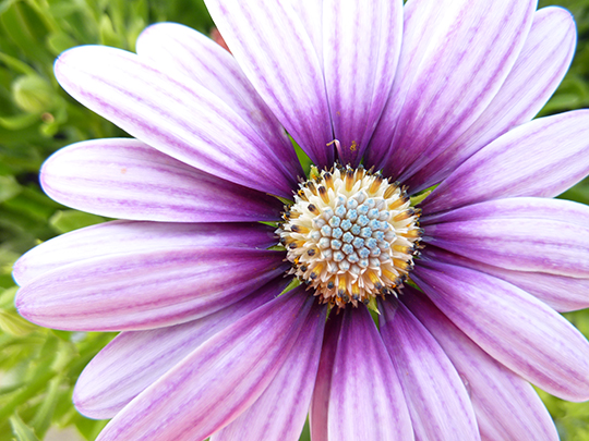 Osteospermum (oss-tee-oh-SPUR-mum) is attractive to bees and butterflies