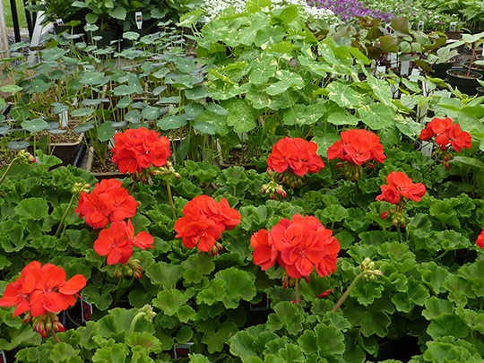 Red geraniums and nasturtiums for a container or sunny spot in your garden