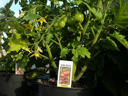 Sungold, our most popular selling tomato
