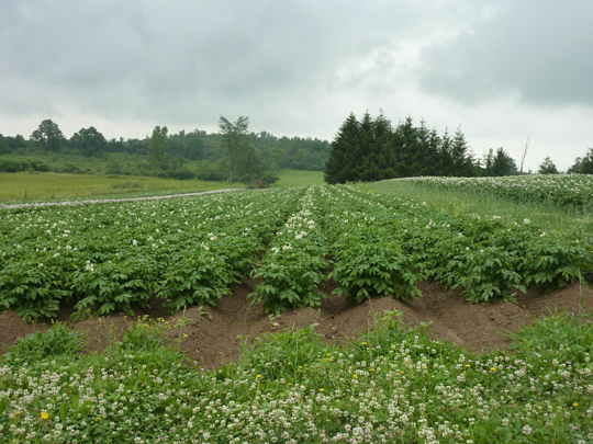 Blooming potatoes on the knoll